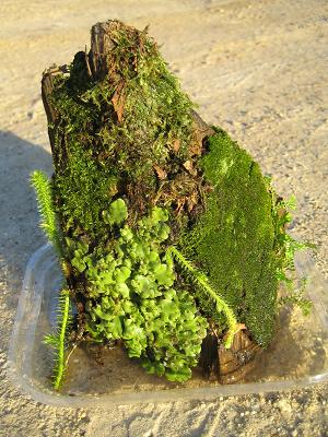 South AfricanMosses